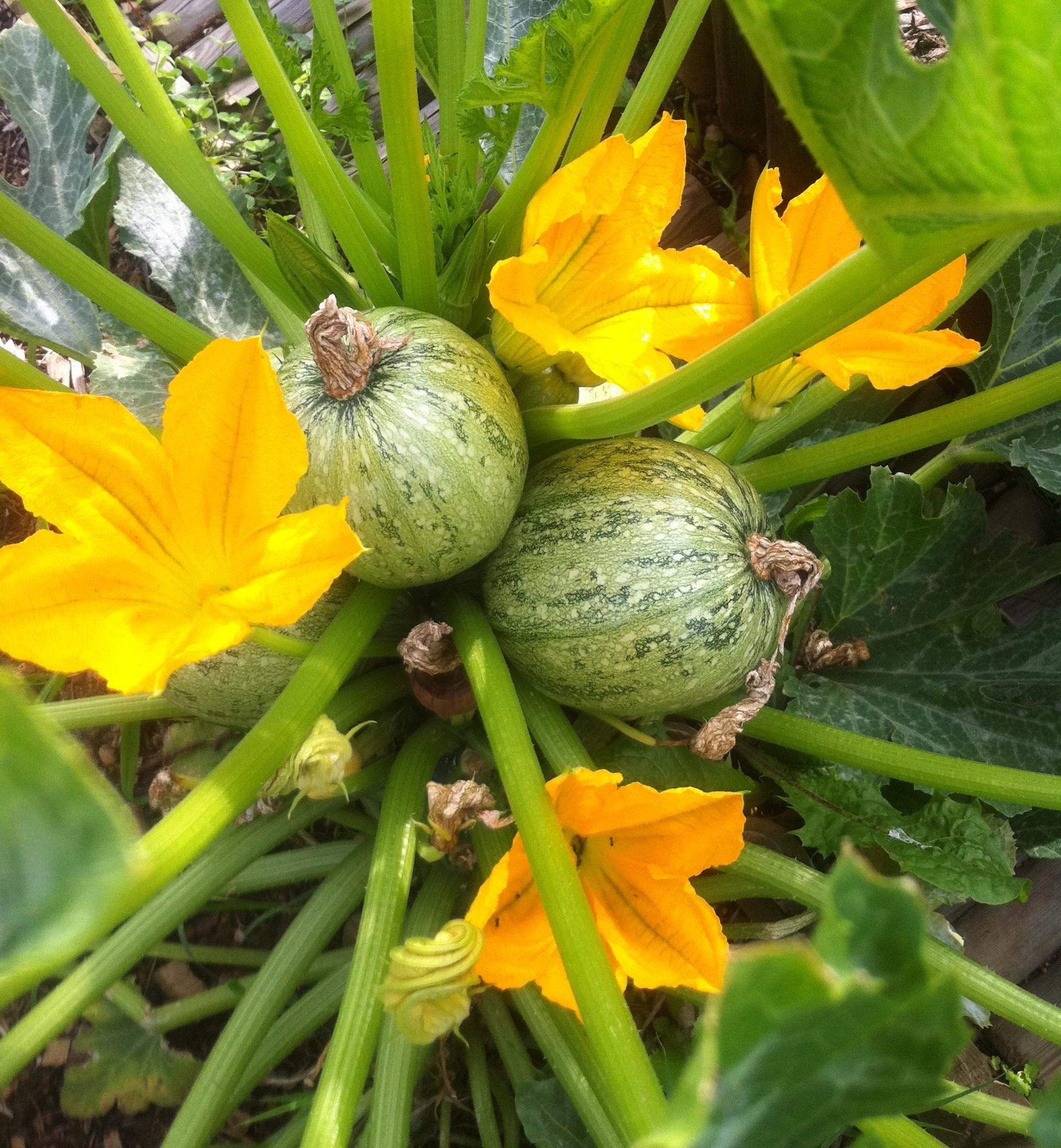 Courgette farcie légumes (6)