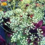 Fleurs de fenouil