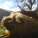 porc-laineux