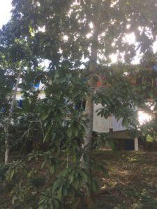 Cuba arbre à mamey