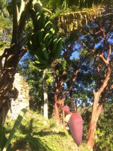Cuba bananier